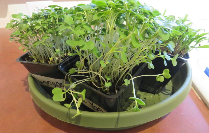 Microgreens for the Win!